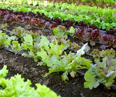 lettuce soil gallery